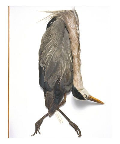 Great blue heron, Texas, 1922, from the series Specimens, 2000,24 x 20 or 34 x 26 inch Iris print