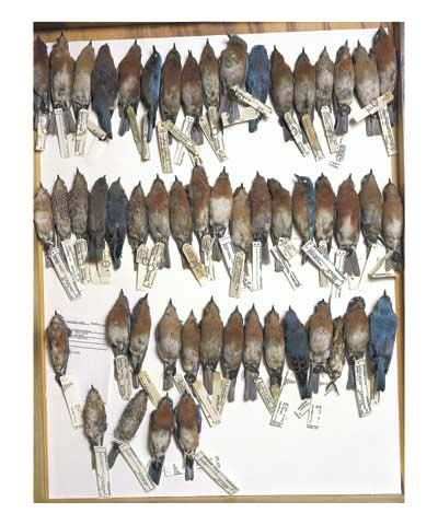 Drawer of bluebirds, various dates and locations, from the series Specimens, 2001, 24 x 20or 34 x 26 inch Iris print