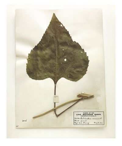Common sunflower (leaf), Illinois, 1899, from the series Specimens, 2000, 24 x 20or 34 x 26 inch Iris print