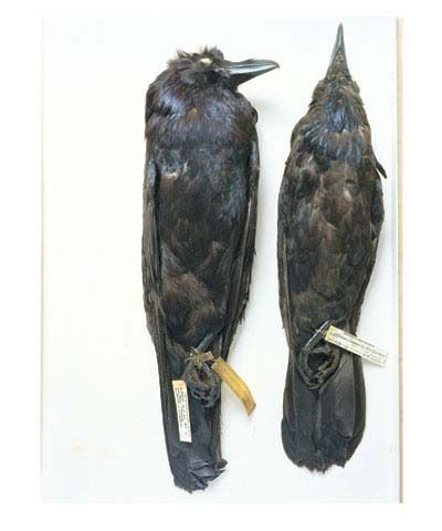 Ravens, Wyoming, 1871; Oklahoma, 1964, from the series Specimens, 2000,24 x 20 or 34 x 26 inch Iris print