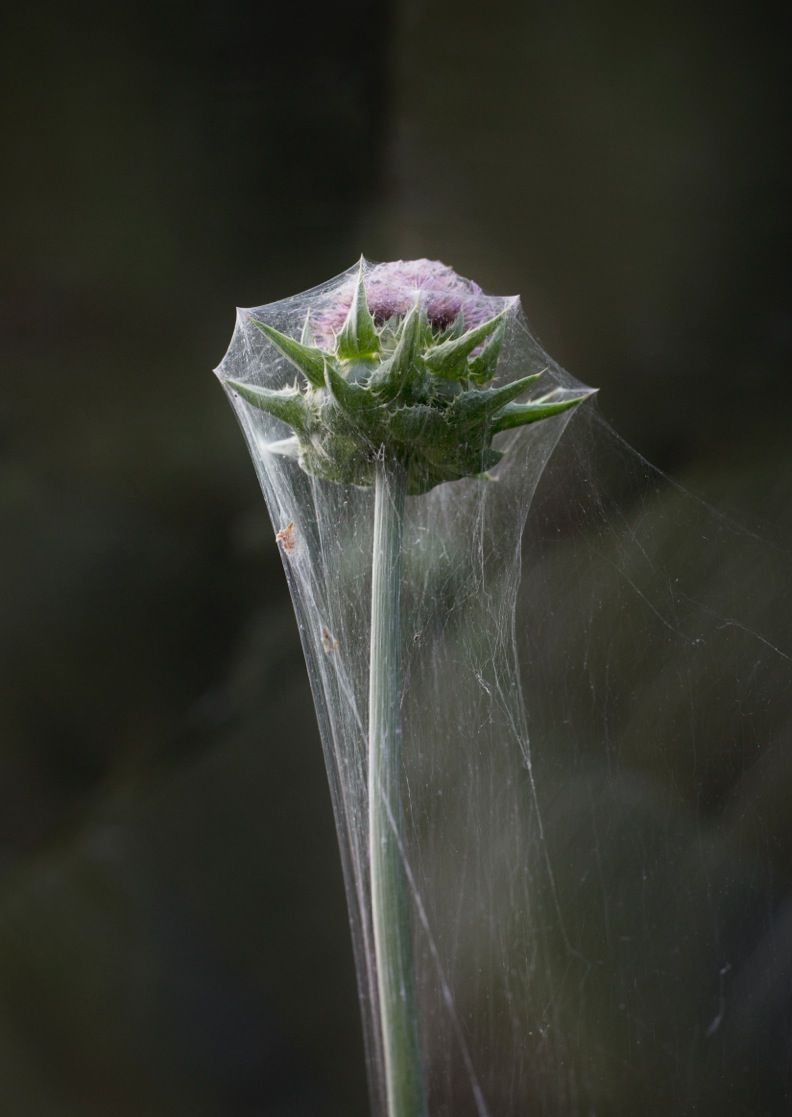 Photograph by Sharon Core from the series Understory of a thistle covered in a spider's web.