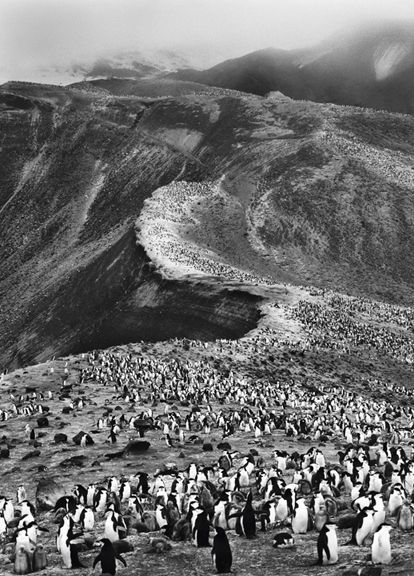 Colony of Chinstrap Penguins, Deception Island, Antartica, from the series Genesis, 2005. 20 x 16, 24 x 20, 35 x 24, 50 x 36 or 68 x 50 inch gelatin silver print
