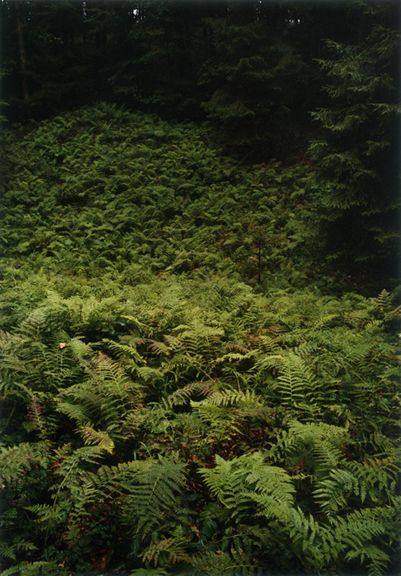 Forest #17, Untitled (Walking Fern), 2003, 24 x 20 inch chromogenic print
