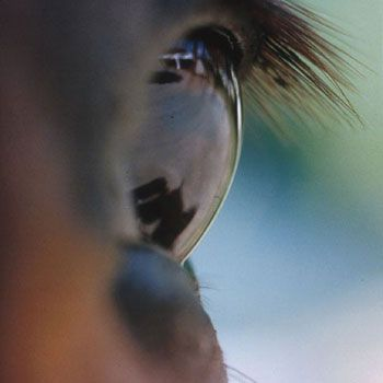 Horse's Eye #8