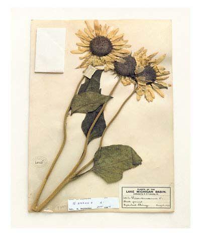Common sunflower, Illinois, 1899, from the series Specimens, 2000,24 x 20 or 34 x 26 inch Iris print
