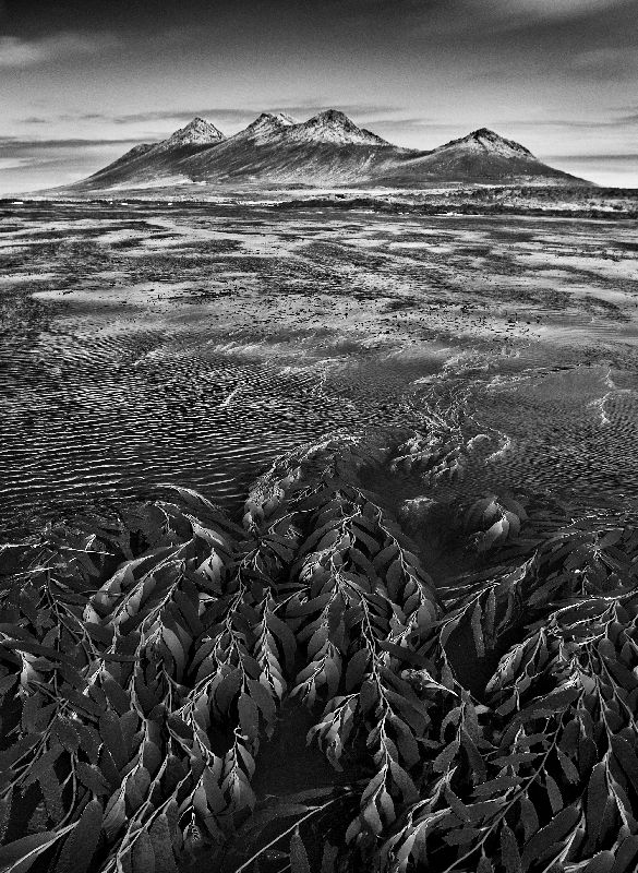 Marine algae, known as giant bladder kelp, the mountains of Steeple Jason Island are visible in the background, Falkland Islands, 2009, gelatin silver print, 35 x 24 inches/88.9 x 61 cm