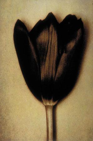 Tulip Three, 1998, 19-1/4 x 13 Fresson Print, Ed. 15