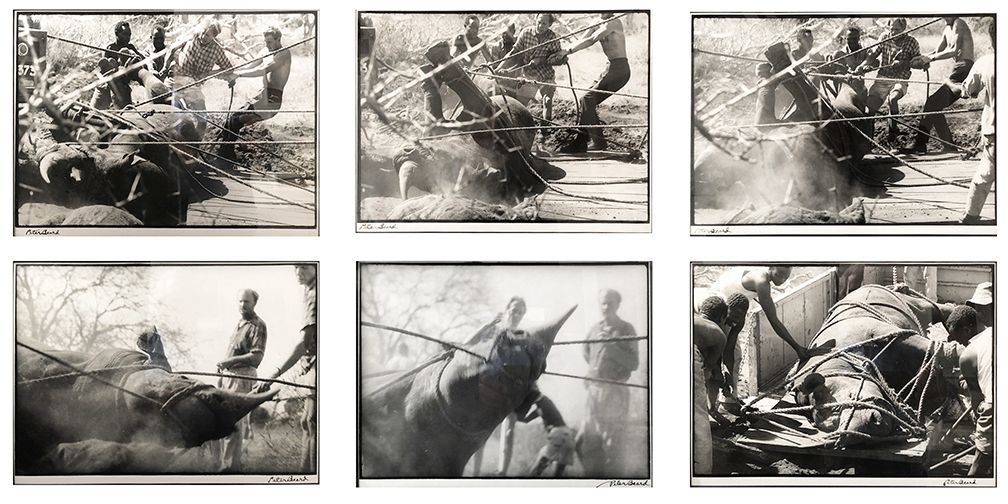 Peter Beard, Roping Rhino (Sequence of 6 photographs), 1968