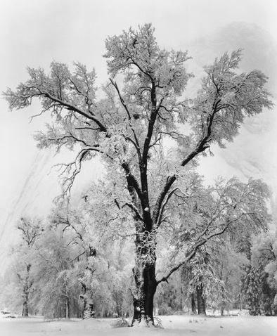 Ansel Adams, Oak Tree Snow Storm, 1948