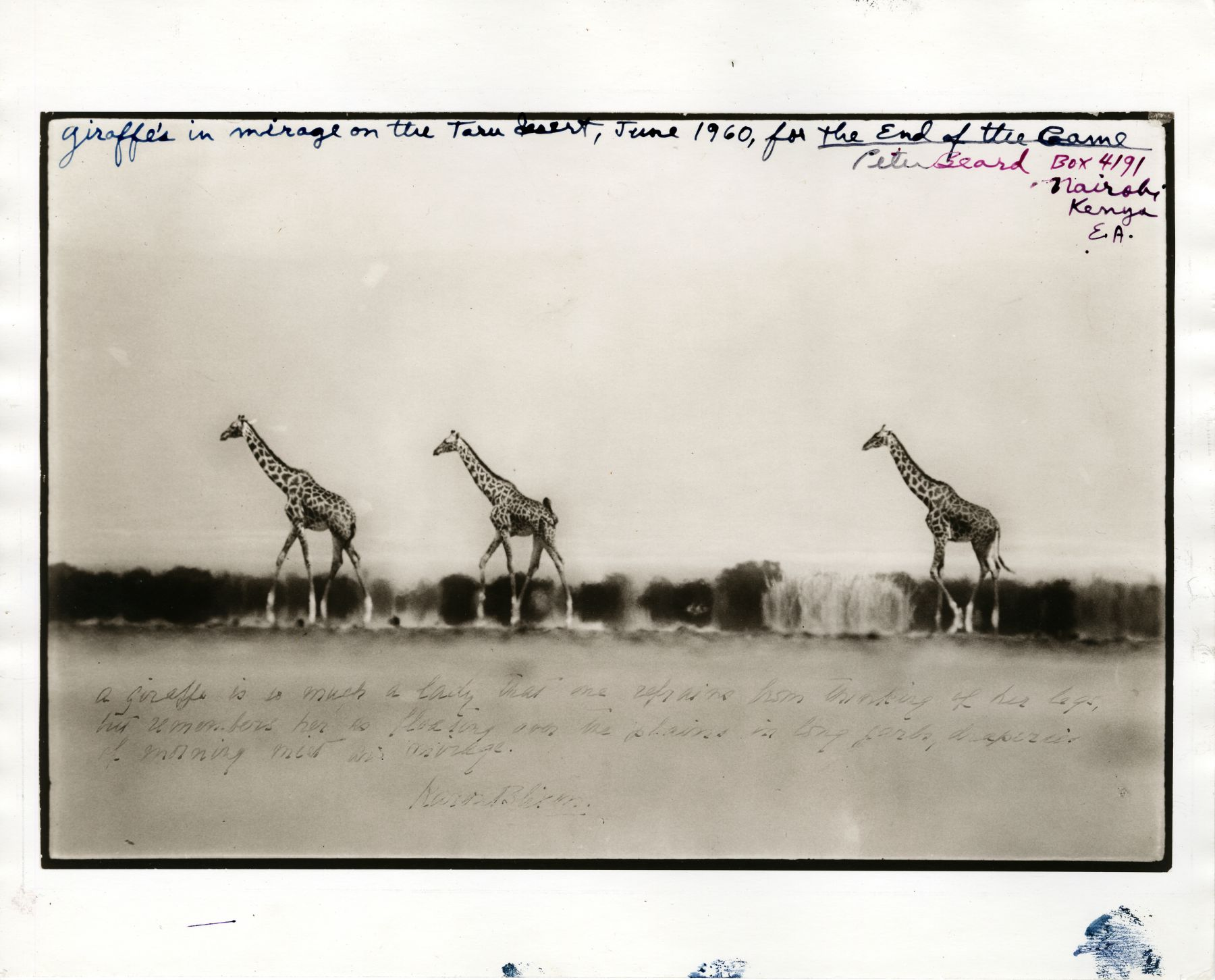 Giraffes in the Mirage on the Taru Desert, June, 1960, Silver Gelatin Photograph with Ink