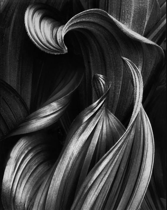 Dance of the Corn Lily, 1991, 20 x 16 inches, Silver Gelatin Photograph