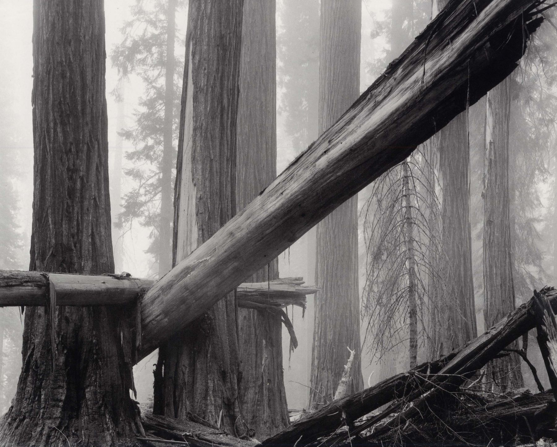 Fallen Sequoias, 1977, 22 x 28 Inches, Silver Gelatin Photograph