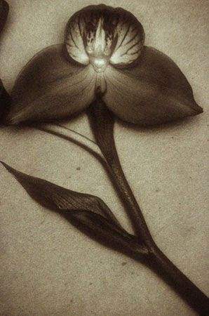 Red Orchid, 1999, 24-1/2 x 16-1/2 Fresson Print, Ed. 15