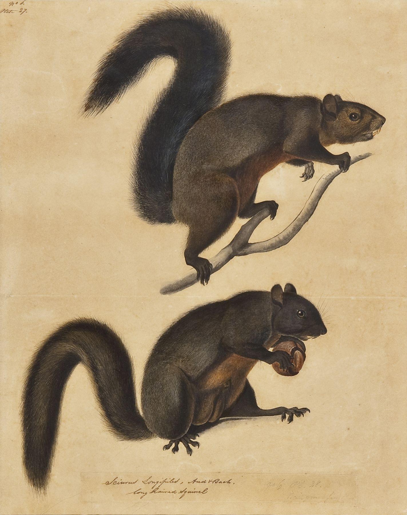 JOHN JAMES AUDUBON (1785–1851), Long Haired Squirrel, c. 1841