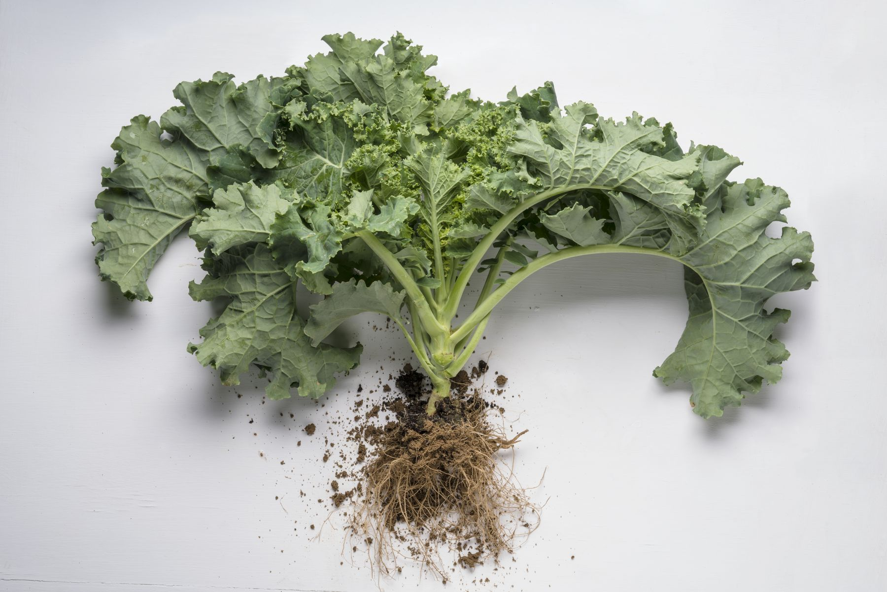 Kale plant with roots