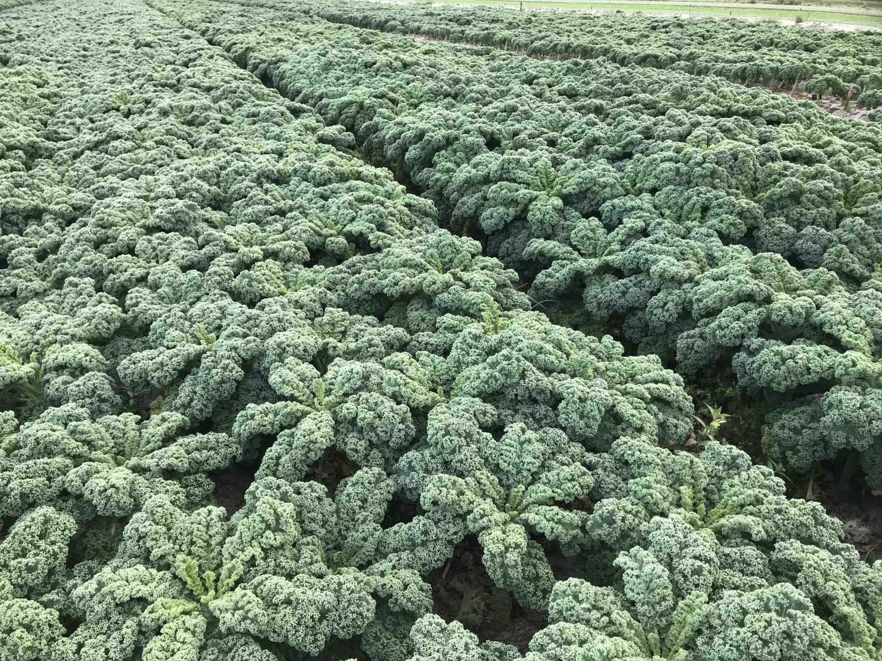 Kale in field