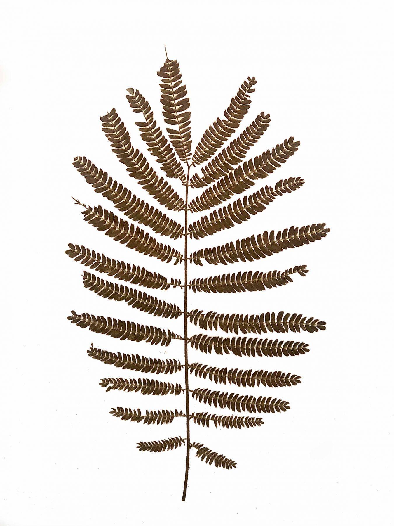 Pressed Fern, 2015, a pressed, dried fern on paper in a frame