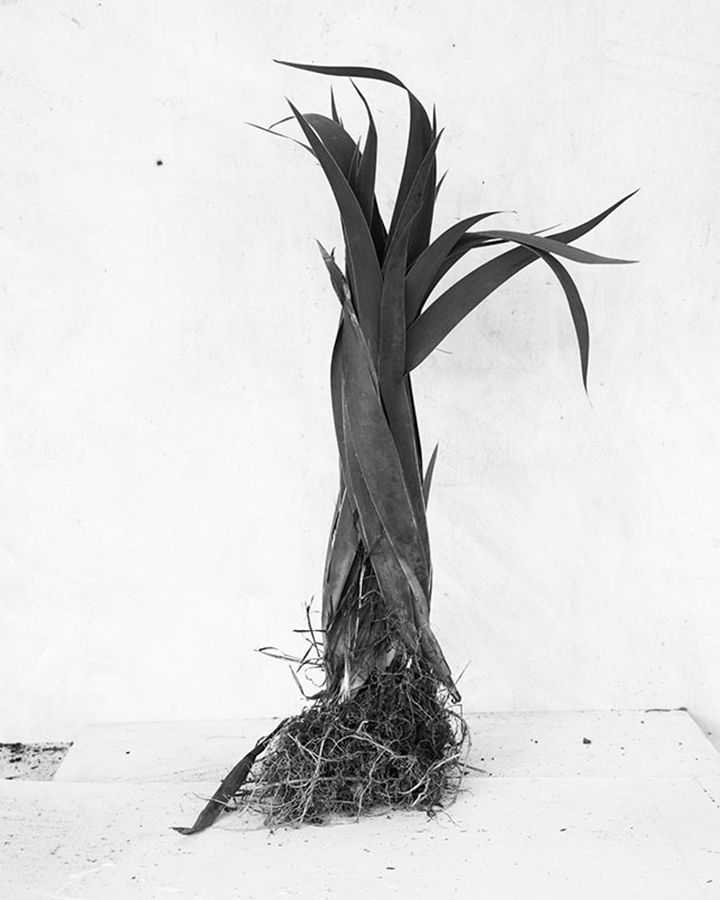 James Henkel  Botanical #8, 2015  Archival Pigment Print  20h x 16w in 50.80h x 40.64w cm  JHe_002  Edition 1/5, Black and White Photography