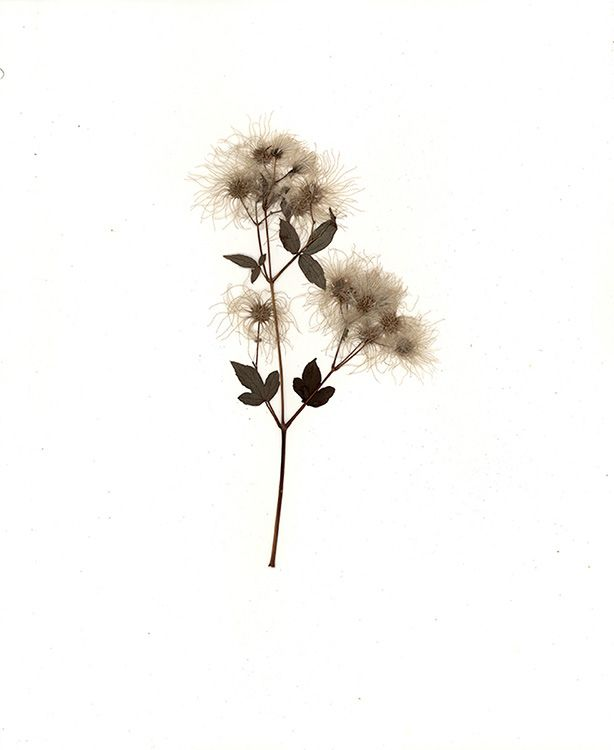Pressed Flower, 2015, a pressed, dry flower attached to paper and framed