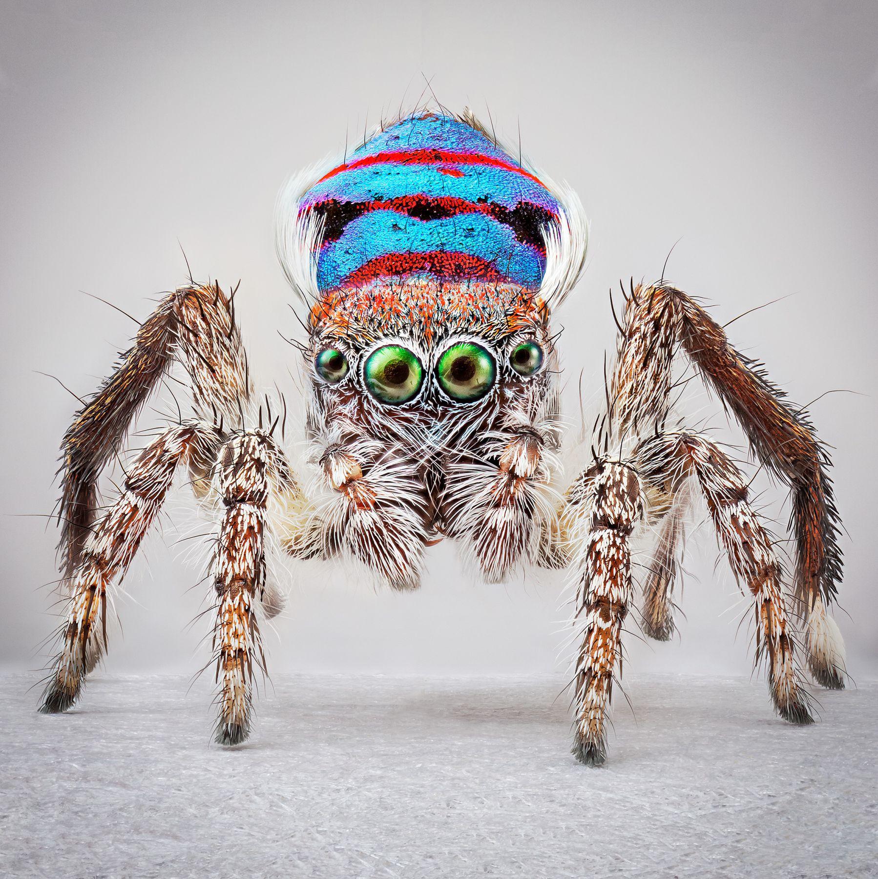 Maria Fernanda Cardoso,Spiders of Paradise: Maratus speciosus from the Actual Size III. Ed. 3/5 [Ed. 5 + 2AP], 2018,Deep focus microscopy, pigment print on premium photo paper,60 x 60 in. (152.4 x 152.4 cm.)
