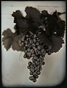 Chuck Close, Red Wine Grapes 1, 2007, 30 x 23 in.