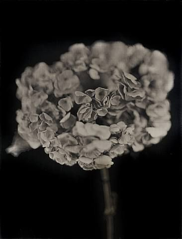 Chuck Close, Hydrangea, 2007, 27.5 x 33 in.