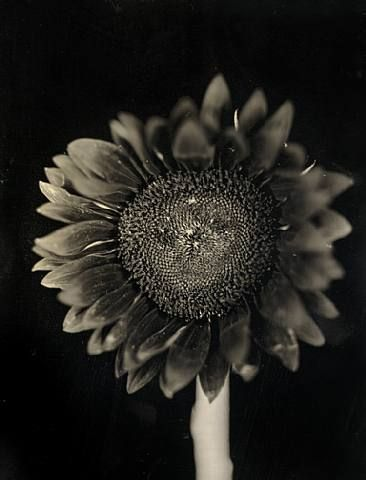 Chuck Close, Sunflower, 2007, 27.5 x 33 in.