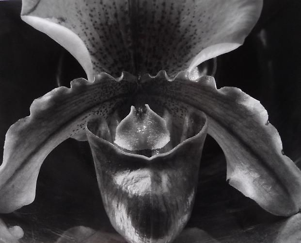 Orchid, 1931.