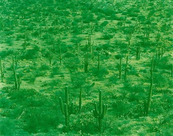 Saguaro Feild, Tucson, Arizona, 2013, 29 x 39 inch c-print