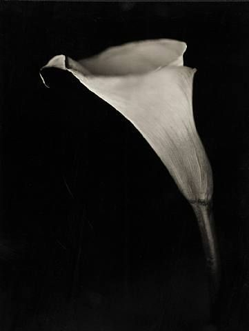 Chuck Close, Calla Lily, 2007, 27.5 x 33 in.