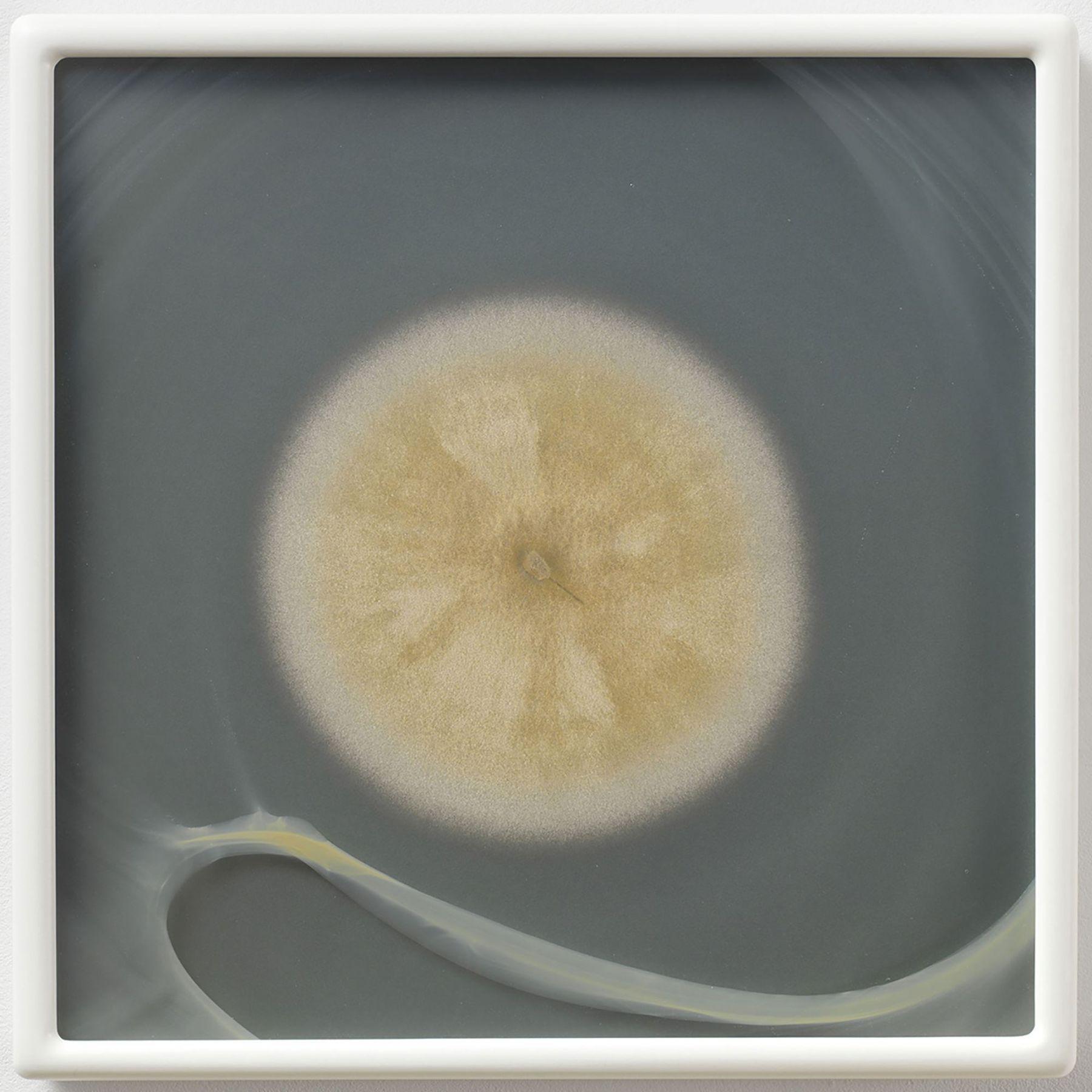 Aspergillus flavus myc 4 (CRCC) CZ #54