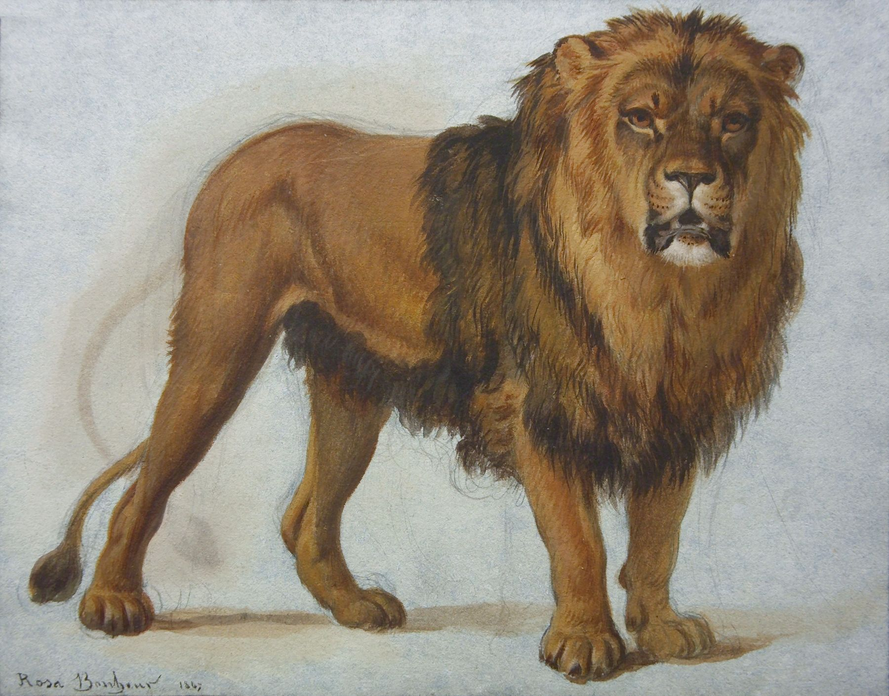 Rosa Bonheur, The Lion, 1847, watercolor on paper, 6 1/4 x 9 1/2 inches