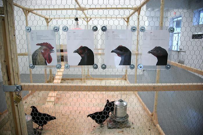 KOEN VANMECHELEN The Cosmopolitan Chicken Project 2009. Installation view: CONNERSMITH.