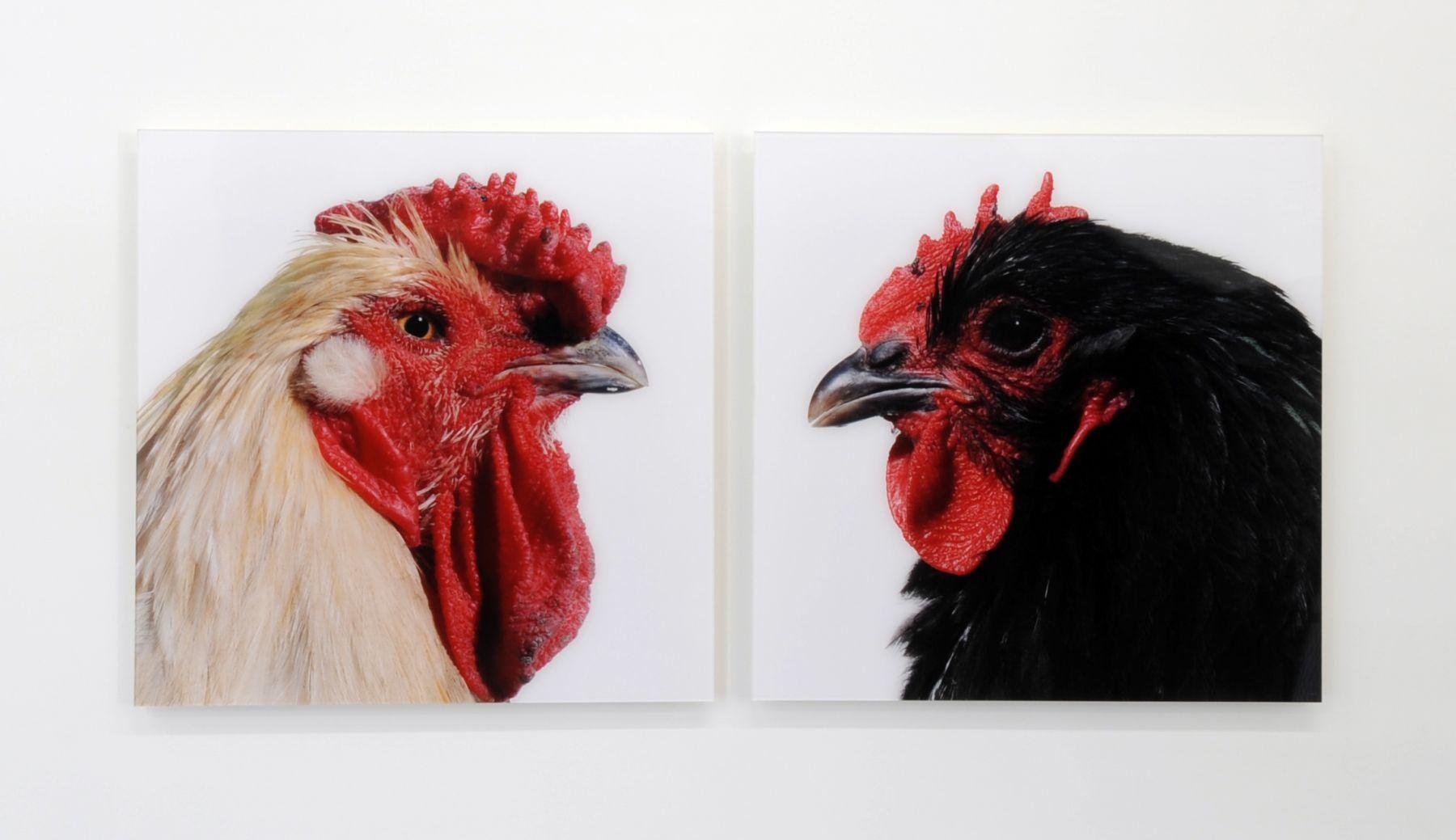 KOEN VANMECHELEN Mechelse Redcap X Jersey Giant (Cosmopolitan Chicken Project) 2007, lambdaprint, 24 x 24 inches (each)