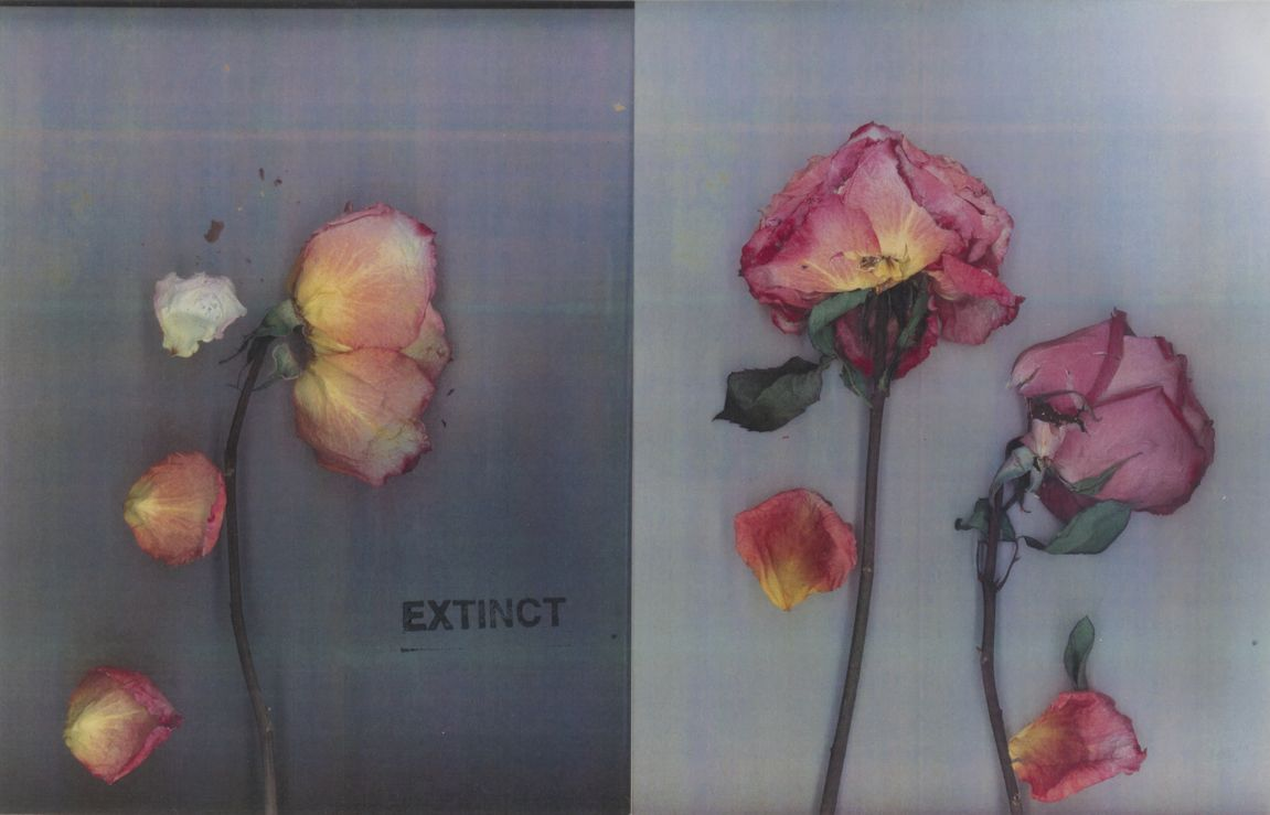 Extinct: Two Roses, 2019