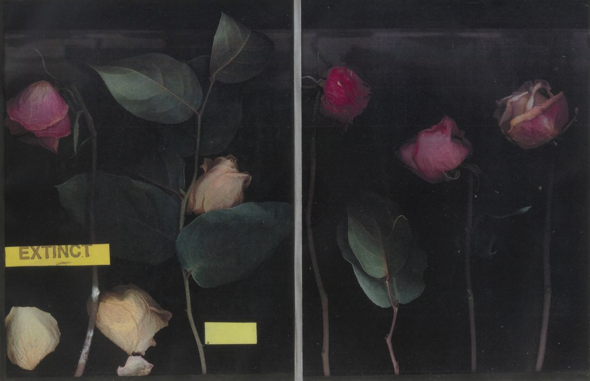 Extinct: Three Roses, 2019