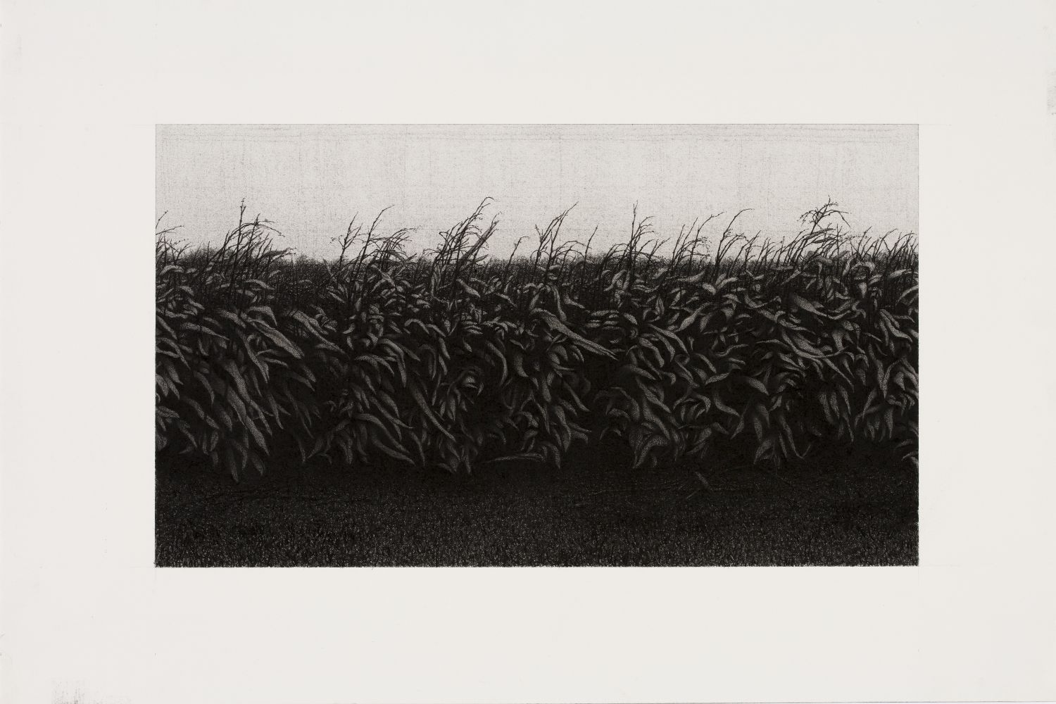 Anthony Mitri, Corn, Bundysburg, 2013, charcoal on paper, 9 1/4 x 16 inches