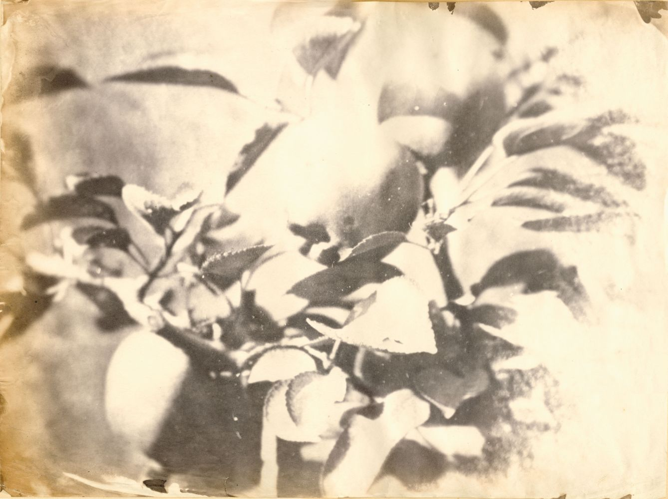 "Unidentified photographer attributed to the Circle of Charles Simart Branch of apples (detail), Folio 1 verso*, from the album assembled circa 1856-1860 Salt print from an enlarged collodion negative 32.3 x 43.2 cm Red wetstamp ""A.M."" on verso"