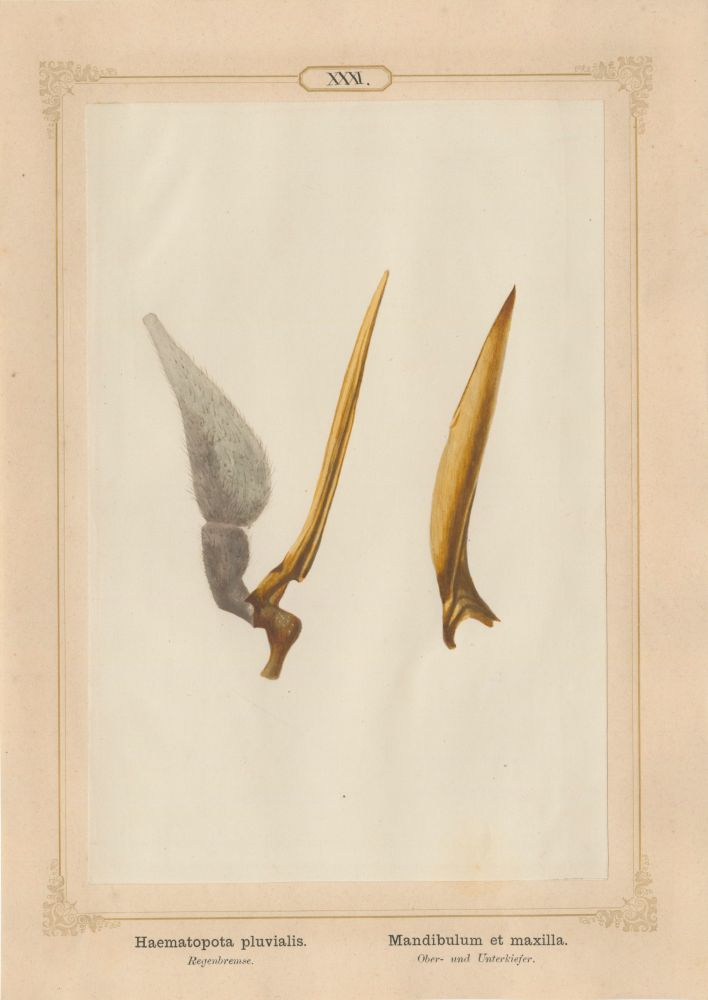 "Ernst HEEGER (Austrian, 1783-1866) ""Haematopota pluvialis. Mandibulum et maxilla."" (Upper and lower jaws of common horse fly), 1861 Hand colored salt print from a glass negative 20.3 x 13.4 cm mounted on 26.0 x 18.5 cm sheet  Numbered in ink with printed titles in Latin and German on mount"