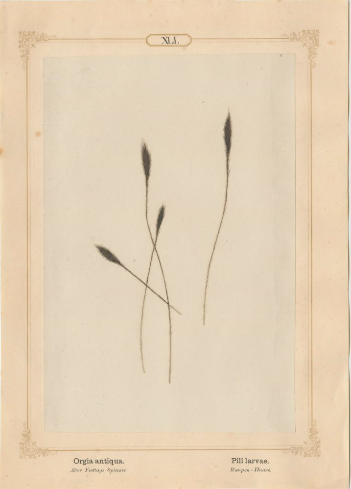 "Ernst HEEGER (Austrian, 1783-1866) ""Orgia antiqua. Pili larvae."" (Bush-tipped hairs of caterpillar of rusty tussock moth), 1861 Hand colored salt print from a glass negative 20.2 x 13.4 cm mounted on 26.0 x 18.5 cm sheet  Numbered in ink with printed titles in Latin and German on mount"