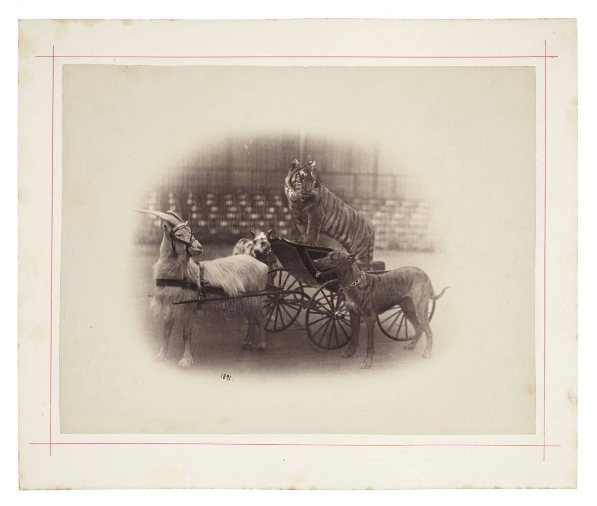 "Peter NISSEN (German) Circus animals, goat pulling a tiger in a cart, with two dogs from ""Carl Hagenbeck's Zoologischer Circus"", 1891 Albumen print 22.3 x 28.7 cm mounted on 28.4 x 33.8 cm card, ruled in red Dated ""1891"" in the negative, and photographer's blindstamp. Stamped ""Photographiesches-Atelier von Peter Nissen, Reeperbahn 28 Hamburg, St. Pauli"" in ink on verso."