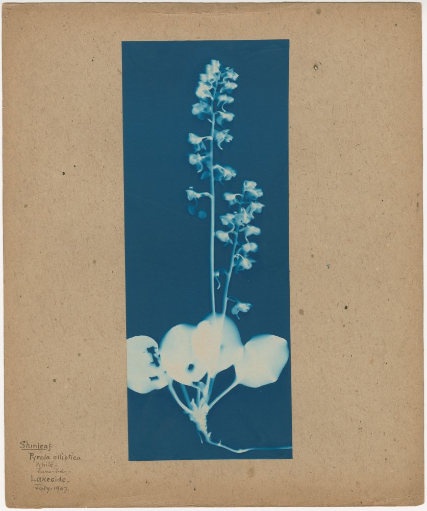 """Bertha E. JAQUES (American, 1863-1941) """"Shinleaf, Pyrola elliptica, Lakeside,"""" Michigan, July 1907 Cyanotype photogram 25.3 x 10.1 cm mounted on 30.5 x 25.4 cm paper Titled and dated """"""""Shinleaf / Pyrola elliptica / white / June-July / Lakeside / July 1907"""" in ink on mount. """"A"""" in pencil on mount verso."""