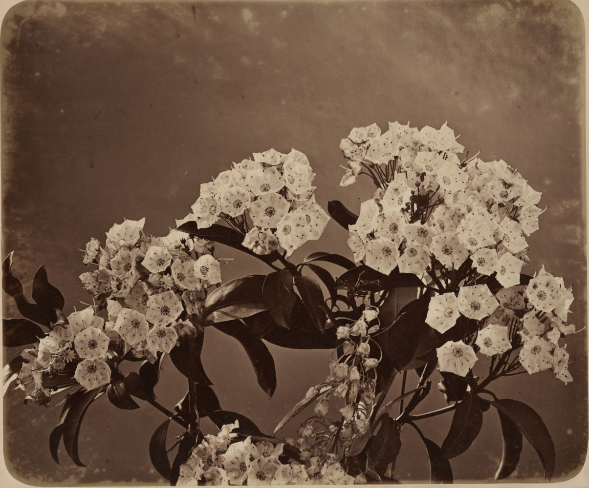 Adolphe BRAUN (French, 1812-1877) Mountain laurel, 1854 Albumen print from a collodion negative 30.8 x 36.8 cm mounted on 48.8 x 61.0 cm paper