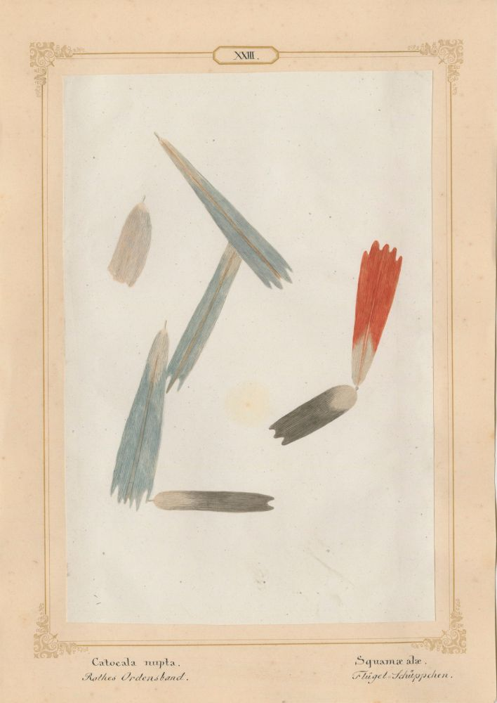 "Ernst HEEGER (Austrian, 1783-1866) ""Catocala nupta. Squamae alae."" (Wing scales of red underwing moth), 1860 Hand colored salt print from a glass negative 20.3 x 13.6 cm mounted on 26.0 x 18.5 cm sheet  Numbered and titled in Latin and German in ink on mount"