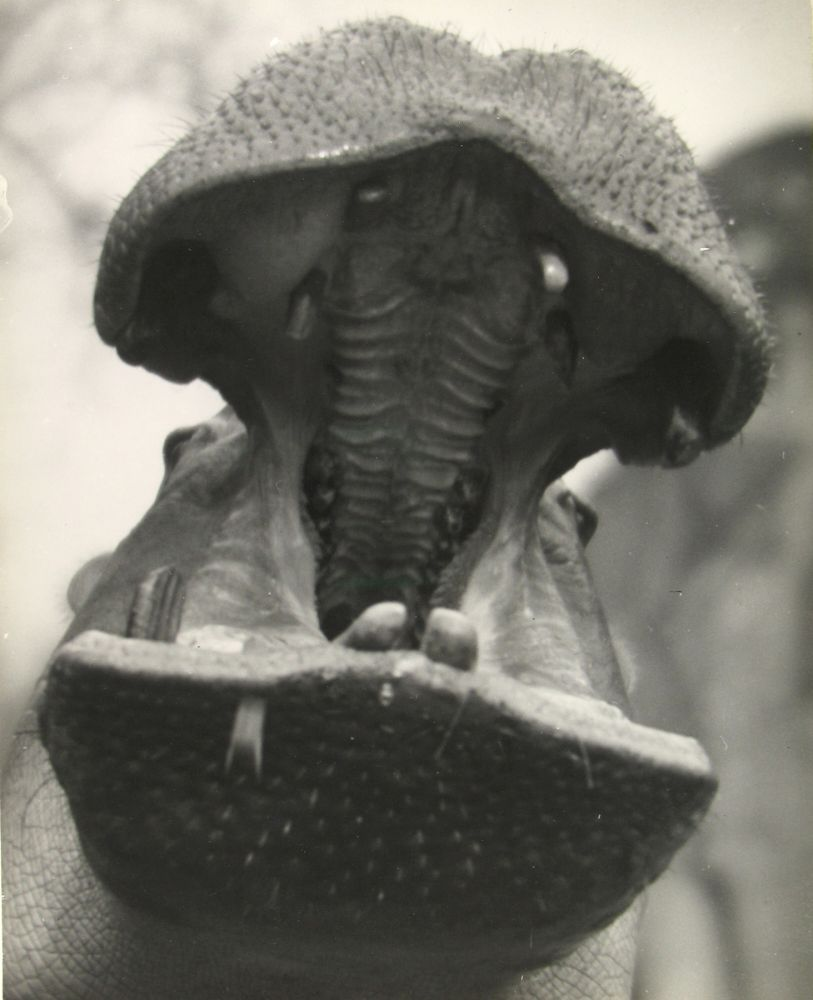 "Martin MUNKACSI (Hungarian, 1896-1963) ""Zoo in Budapest, Joe E. Brown"" , 1920s Gelatin silver print 33.8 x 27.0 cm Inscribed ""Zoo in Europe 1927-1933"" in pencil on verso"