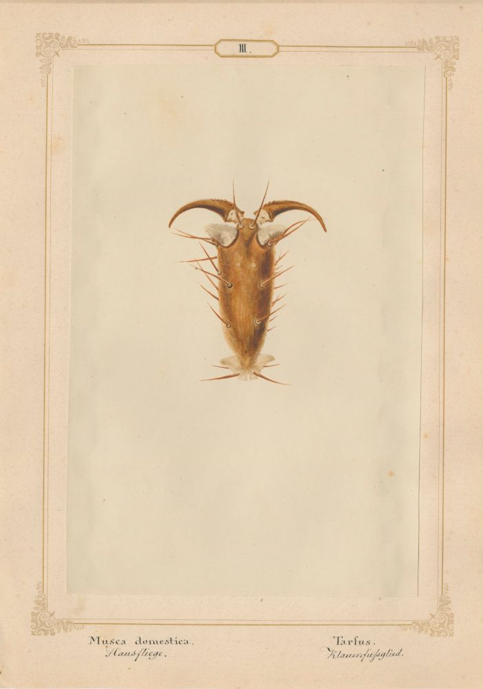 "Ernst HEEGER (Austrian, 1783-1866) ""Musca Domestica. Tarfus."" (Foot of house fly), 1860 Hand colored salt print from a glass negative 20.0 x 13.3 cm mounted on 26.0 x 18.5 cm sheet  Numbered and titled in Latin and German in ink on mount"