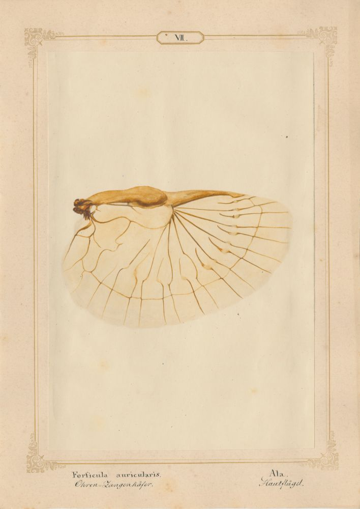 """Ernst HEEGER (Austrian, 1783-1866) """"Forficula auricularis. Ala."""" (Membranous hindwing of earwig), 1860 Hand colored salt print from a glass negative 20.4 x 13.6 cm mounted on 26.0 x 18.5 cm sheet  Numbered and titled in Latin and German in ink on mount"""