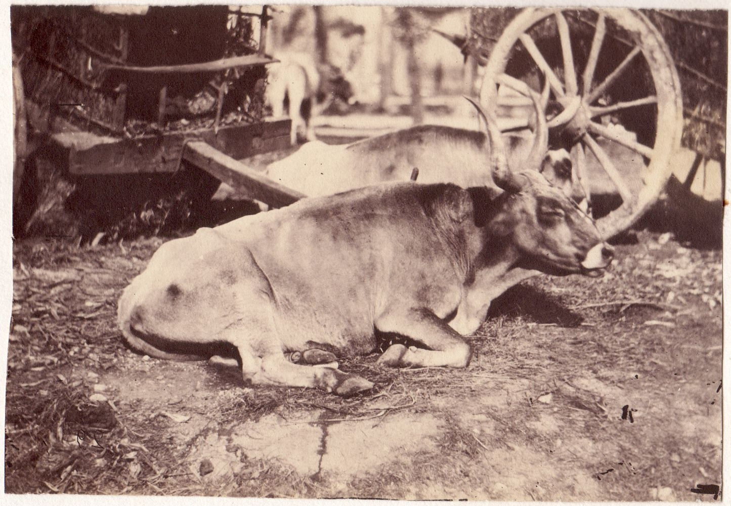 Circle of Giacomo CANEVA (Italian, 1813-1865) Oxen with carts in background, 1850s Coated salt print from a collodion negative 12.0 x 17.4 cm tipped onto original mount