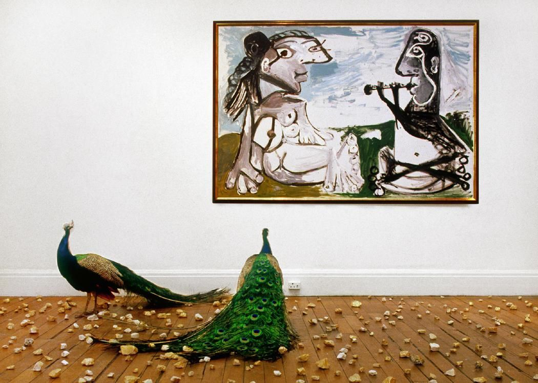 photograph of a room with two peacocks walking among rocks on a hardwood floor with a Picasso painting on the wall