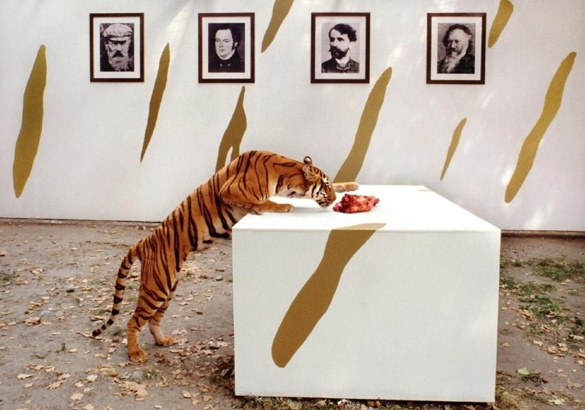 a tiger sniffs raw meat atop a pedestal while framed black and white portraits hang on the wall behind it